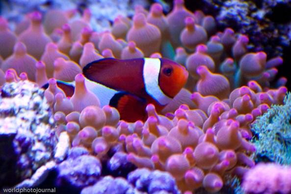 clownfish and rbta