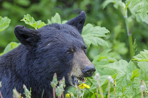black bear snacking on flowers in a field