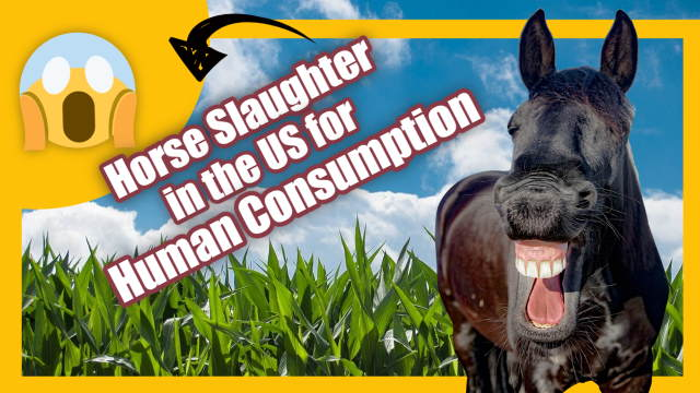 "Illustraion is teatured image for the article ""horse slaughter"" in the US for human consumption"".horse slaughter in the US"