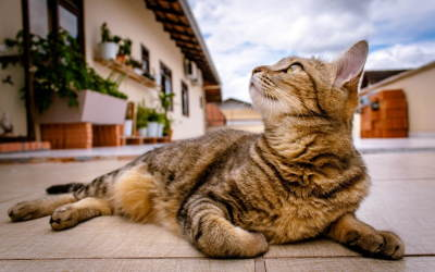 Image shows a relaxed healthy tabby cat lying in front of a villa to illustrate the positive effect of CBD Oil on Cats.