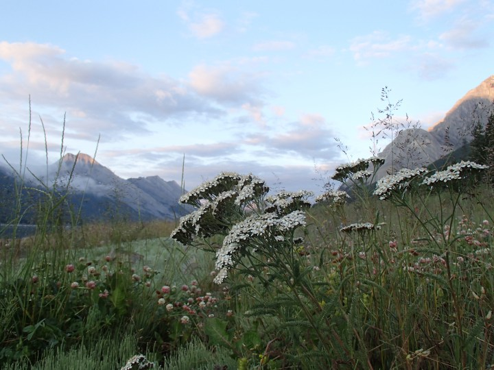 Some of the flowers beside Spray Lake