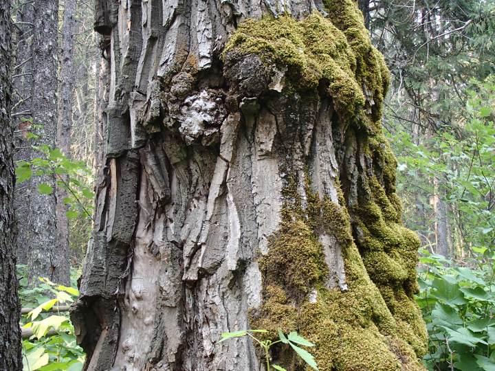 Cottonwood bark is groovy