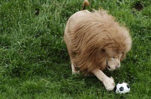 lion-soccer-joanhesburg-zoo-south-africa-john-liebenberg-_barcroft-media-_fame-pictures