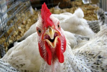 Agriculture Commissioner releases ban on poultry shows and sales