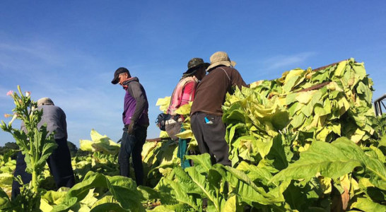 International Effort Gains Momentum to Protect NC Tobacco Workers