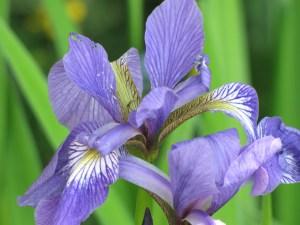 Last year's irises.