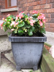 Begonias and Something with Purple Flowers. My only planting of annuals.