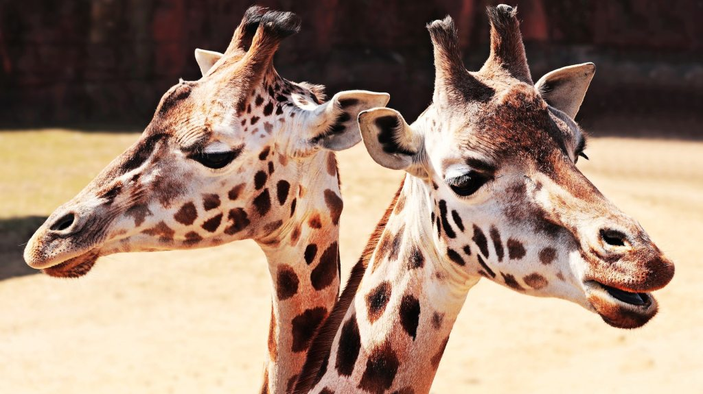 Image, two giraffe heads looking in opposite directions.