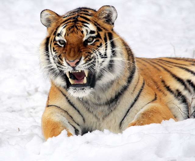 Image, roaring tiger in the snow.