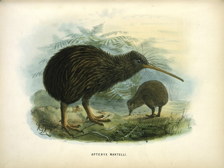 Image, Painting of two kiwi in a landscape by John Gerrard Keulemans, 1873.