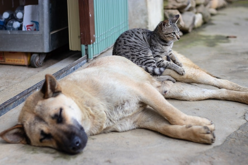Image, small tabby cat sitting on a sleeping brown dog on a footpath