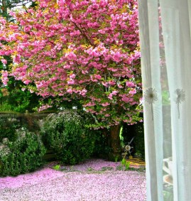 cherry tree and curtain