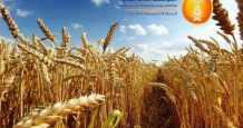 saudi-arabia wheat saudi sago port