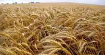 egypt cultivates dry rice valley