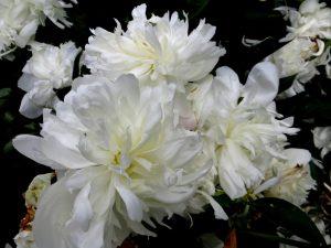 Garden whites June 2013