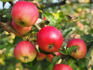 apple-693986_1280
