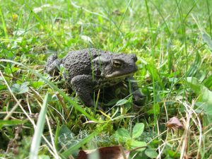 common-toad-265765_1280