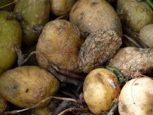 rotting-potatoes-185928_1280