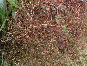 Muehlenbeckia astonii: a tangle of wiry twigs with tiny leaves