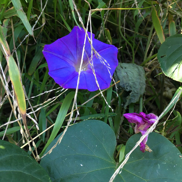 Morning glory flowers, one in bloom, one dead