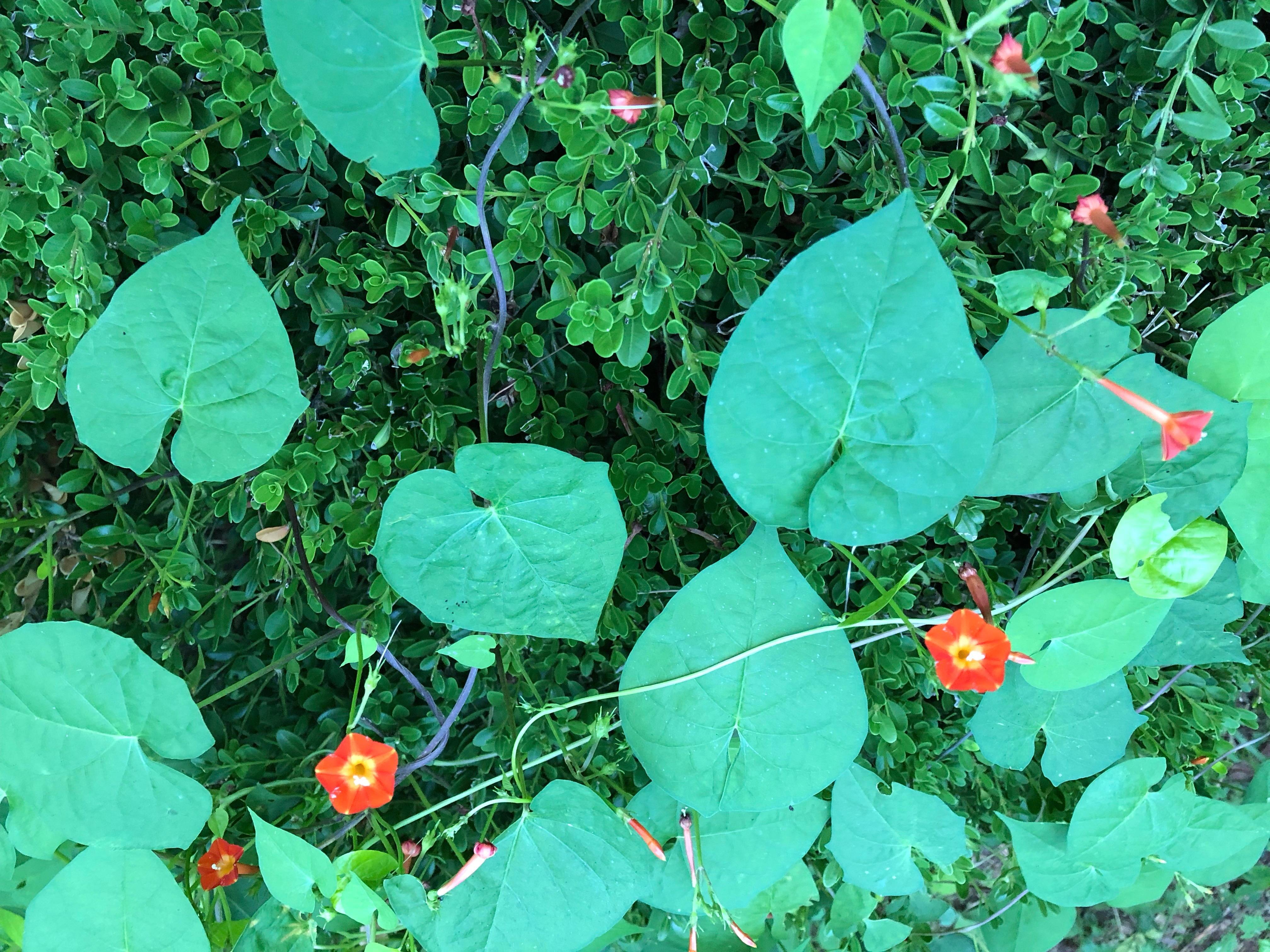 Tiny orange morning glory threading across a green bush