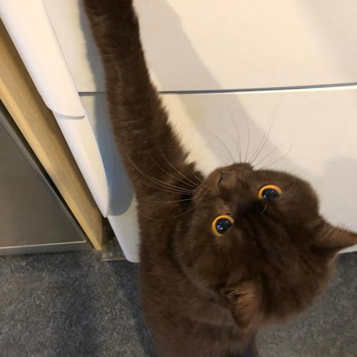 cat trying to open the fridge door