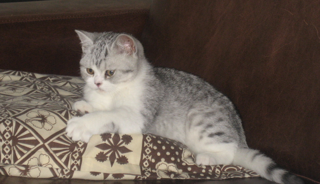 Cute grey british shorthair kitten