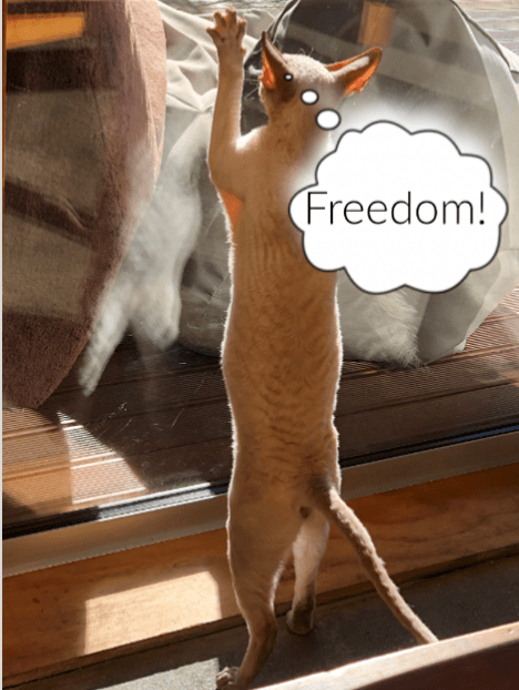 Juan the Cornish Rex scratching glass door and thinking: Freedom!