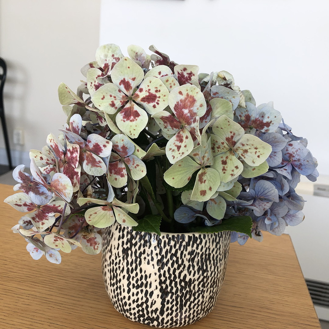 Dying hydrangea flowers in a vase, spotty and pretty