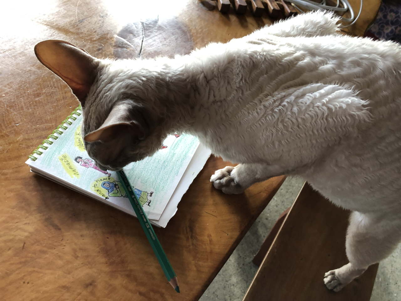 Photo of Cornish Rex cat colouring in a bad drawing