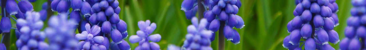 Grape hyacinth flowers (Public Domain)