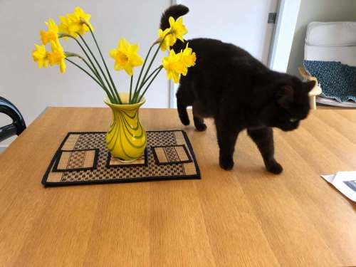cat on a table with daffodils