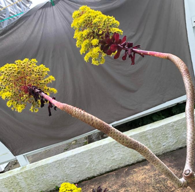 Two branches of echiveria, a red succulent plant. An image to represent the binary.
