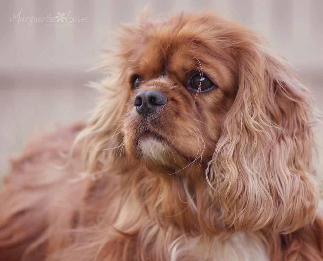 dog, cavalier king charles spaniel, ava