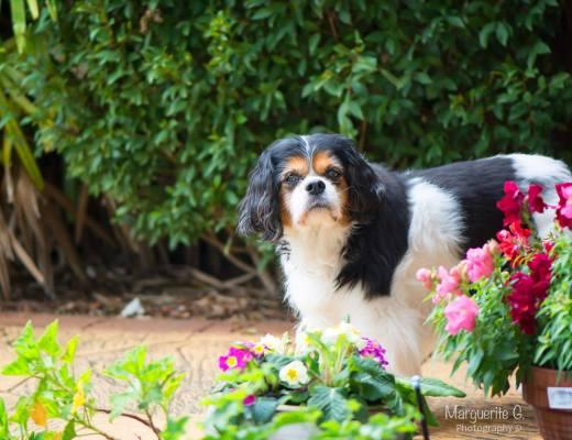 dog, cavalier king charles spaniel, tri-colour, chelsea