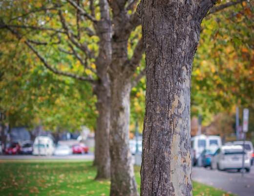 hobart, trees, autumn leaves