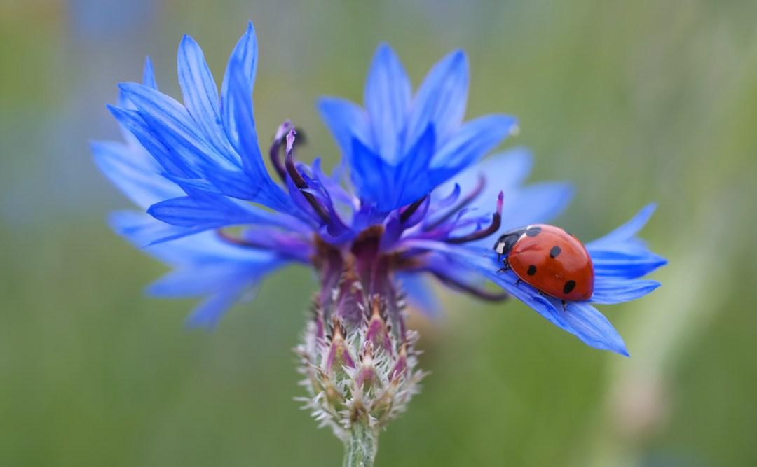 ladybug, bug, garden, gardening, flower, cornflower