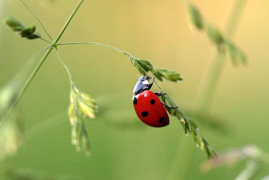 ladybird, ladybeetle, ladybug