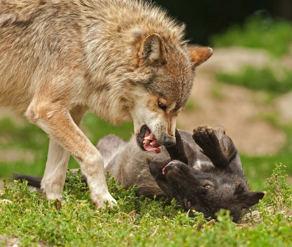 0010A-Wolf-Angry-Attack-CC0