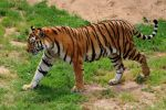 Tiger, The Beautiful Cat – A poem