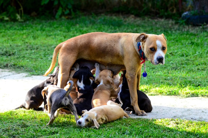 iStock-485656290_dog nursing puppies_Working Memory.jpg