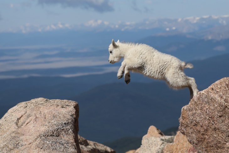 iStock-934242834_leaping goat_Metacognition.jpg