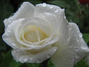 White_Rose_(224501616)