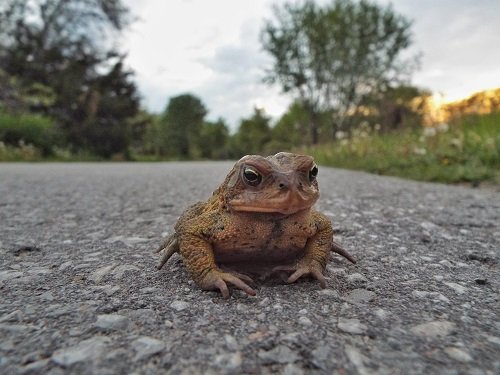 Toad on the Road from Morguefile