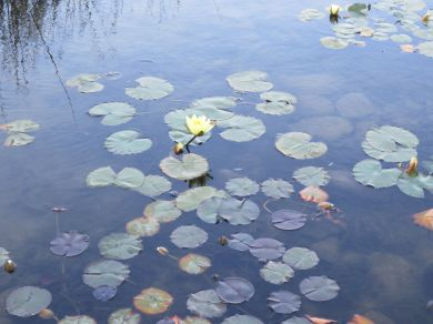 Yellow Lily on water