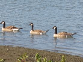 3 Canada Geese
