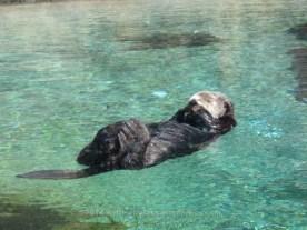 Solo Otter