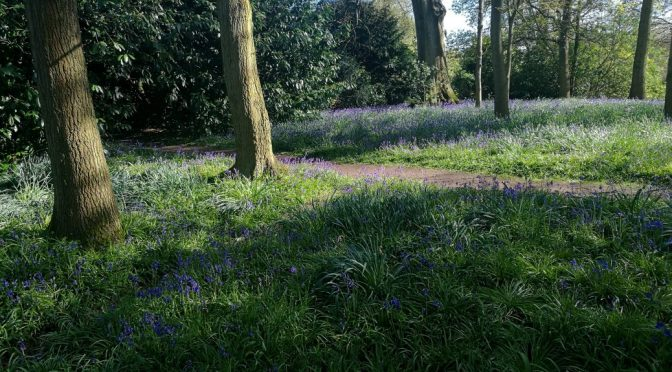 Hunting for Bluebells, Dunham Massey walk