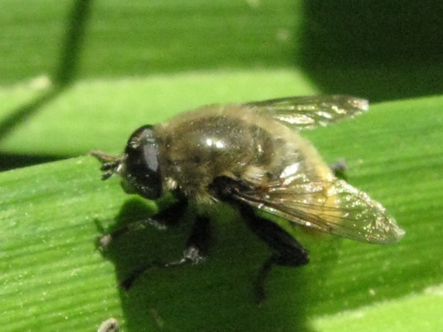 NOT a Syrphid fly