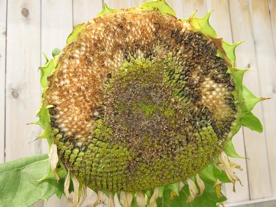 Ravaged sunflower